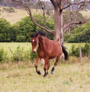 Gentle brumby gelding Krambach Greater Taree Area Preview