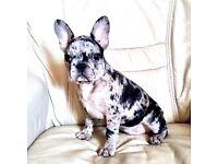 Merle French bulldog girl