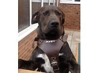 Handsome and Loving 7 month old Male Perro de Presa Canario needs FOREVER Home