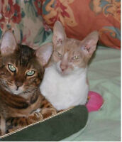 CATS FOR SALE-Bengal & Cornish Rex