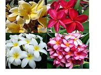 Plumeria/Frangipani Plants - £8 - £10 each depending on size or £50 the lot - 8 plants