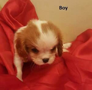 Cavalier King Charles Spaniel Puppy purebred Kenthurst The Hills District Preview