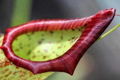 Nepenthes, 30 Semillas Carnivoras.