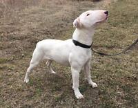 "Young Female Dog - Bull Terrier: ""Effie"""
