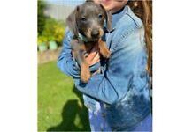Blue And Tan Minature Dachshund Pups