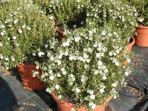 5 myrtus microphilla pianta di mirto arredo casa e for Pianta mirto