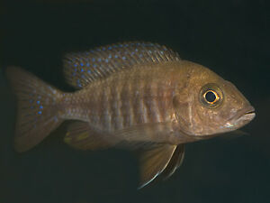 Free!!!!  adult female ruby-red cichlid for free
