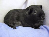 2 female guinea pigs free to a loving home complete with accessories