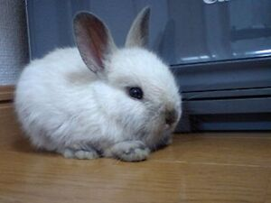 LOOKING FOR DWARF BUNNY