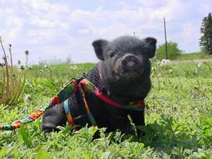 Looking for a Pot belly pig