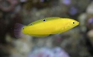 Yellow Wrasse for marine aquarium