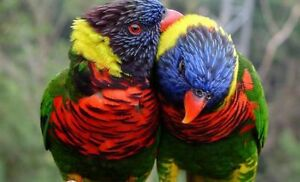 ** BABY RAINBOW LORY ** INCLUDES DNA ** 1 LEFT **