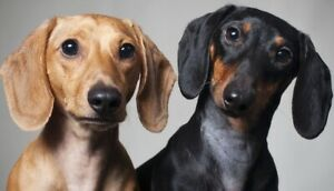 Dachshund | Adopt Dogs & Puppies Locally in Ontario | Kijiji Classifieds