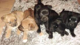 Pomeranian x Yorkshire terrier puppies