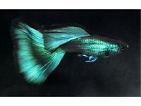 Hybrid guppies various colours, look trough pictures some are show class