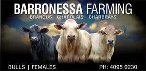 Livestock - bulls Cooktown Cook Area Preview