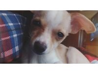 4 month old Teacup Chihuahua puppy, microchipped and for sale