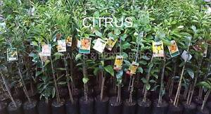 Assorted Fruit Trees & Edibles FROM $10 each Plants Landsdale Wanneroo Area Preview