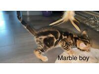 2 bengal kitten boys