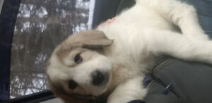 Pure Great Pyrenees Puppies!! 1 Male needs home!