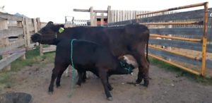 High production, small and efficient nurse cows