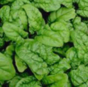 Rainbow Seeds Canada - Spinach seeds - Free Shipping