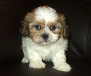 Absolutely Stunning SHIH TZU Puppies - Last Handsome Male!
