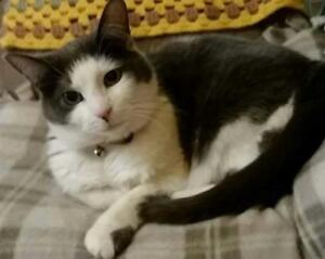 """Adult Female Cat - Domestic Short Hair: """"Evee - SPECIAL NEEDS"""""""
