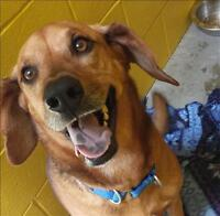 "Adult Female Dog - Rhodesian Ridgeback-Coonhound: ""Lucy"""