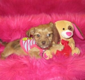 Chiot yorkshire x