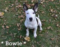 """Baby Male Dog - Bull Terrier: """"Bowie"""""""
