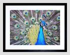 Peacock Framed Decorative Posters & Prints