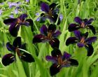 Iris Plant Partial Shade Water Plants