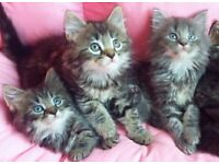 Perfect Hypoallergenic SIBERIAN Kittens- Ready now !