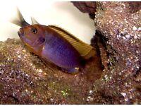 Malawi Mbuna rusty cichlids