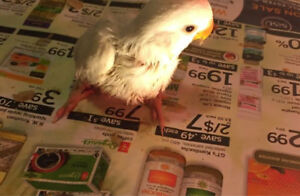 Lovebird babies for sale