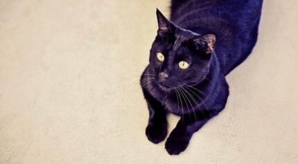 AC0023 : Sampson - CAT for ADOPTION- Vet work included Rockingham Rockingham Area Preview