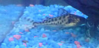 "5"" long Pictus Catfish (4 available)"