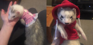 Ferret Pair (Male+Female) to experienced owner.