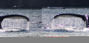 Salmon Fishing Charters! Campbell River Comox Valley Area image 10