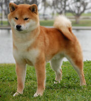 i am looking for a mini huskie  or Boston Terrier or a ShibaInu