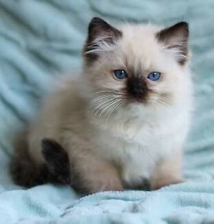 Wanted: Wanting a Ragdoll Kitten