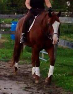 Gelding, Gentle and Kind 16hh 9 yrs old