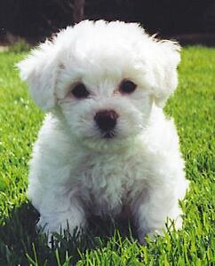 Looking for Male Bichon Frise
