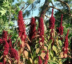Two Tablespoons (tbsp) Red Amaranth Seeds-mailed to you for free