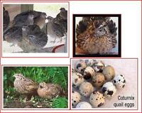 Jumbo Coturnix Quail Chicks & Eggs - Witty Farms