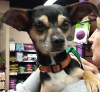 "Adult Female Dog - Chihuahua-Italian Greyhound: ""Sally"""