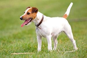 Je cherche un chien de race jack russell/looking for pure J-Russ
