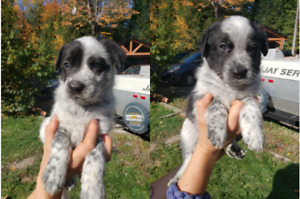 Blue heeler border collie puppies for sale- chiots à vendre!