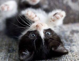 8 weeks himalayan mix tuxedo long hair male kitten